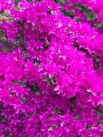 Bright fuchsia flower blossom