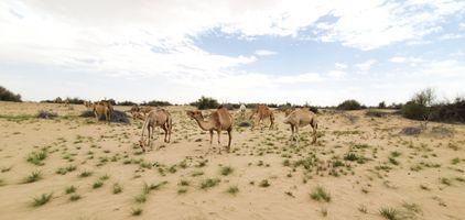 Dromedary in the Dubai desert