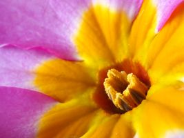 Polyanthus Macro