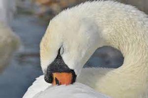 Cute sleepy Swan