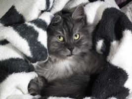Black-and-white-cute-pet-fur-kitten-cat