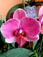 Close up shot of a pink-purple orchid