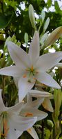Lilium candidum-White lily flower-Madonna Lily