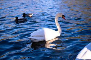 Swans on a late afternoon