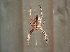 Garden Spider in it's untidy web