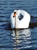 Mute swan approaching