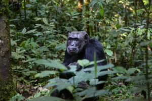 Chimpanzee_uganda_monkey
