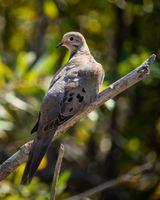 Mourning Dove - San Joaquin Wildlife Sanctuary, California