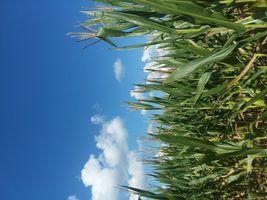 Corn Maze at Penton Farms in Verbena, Alabama