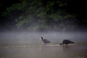 Bare-face ibis