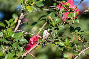 White-bellied Seedeater in a Hibiscus