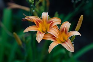 My Neighbor's Lily (double)