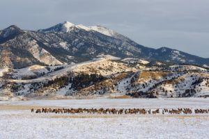 Bridger Mountain Elk