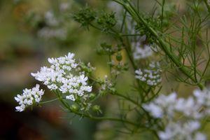Cilantro Blossoms 1