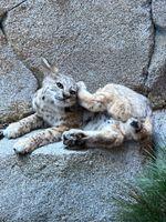 Lynx-Bobcat