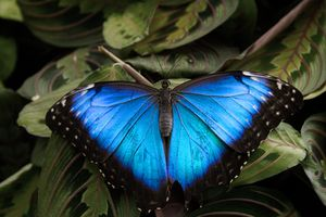 A Blue Morpho Butterfly at the live butterfly exhibit in the National Museum of Nature.