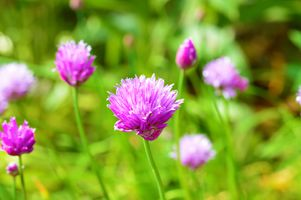 Chives.
