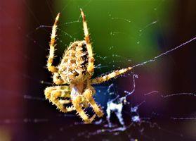 Garden Spider.