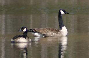 Canadian geese-Edit