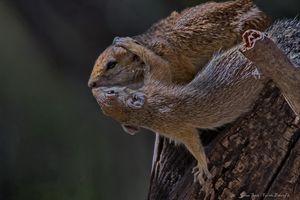 Squirrels kissing.