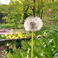 Dandelion - seeds ready to fly off