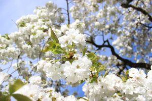 White japanese cherry blossoms agains blue sky