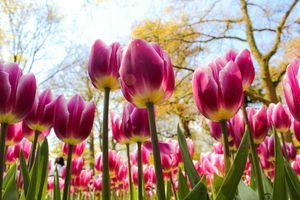 Pink Tulips, Keukenhof, Netherlads