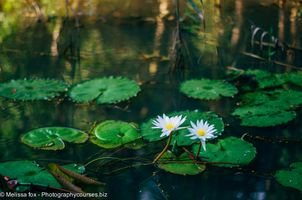Water Lilies Tra Su Forest