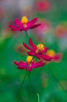 Cosmea Flowers are colourful