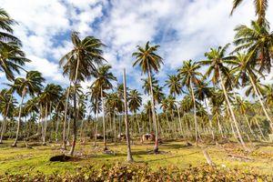 Dominican Republic Coconut Palms
