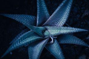 Succulent in twilight blue