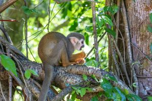 Squirrel Monkey eating some seeds