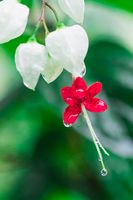 Red and white Flower closeup with raindrops