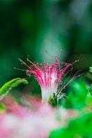 Persian Silk Tree Flower in pink