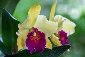 Beautiful Cattleya closeup