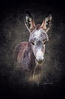Donkey foal Matheo