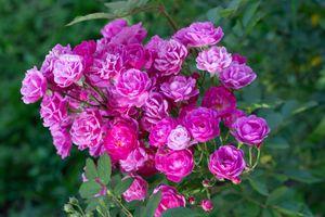 Flower-garden-botanic-botanical-vegetation-green-colorful-spring-vegetal-plant-decoration-bloom-blossoming-nature-flourish-floral-sun-sunny-sunlight-color-pattern-flowering-plant-garden-roses-floribunda-pink-rose-ro