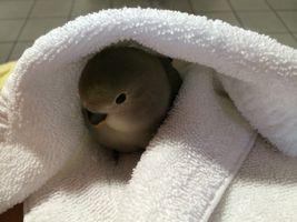Lovebird Chick