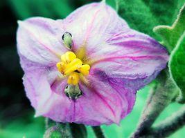 Solanum melongena Flower..