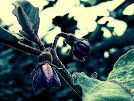 Solanum melongena Flower....