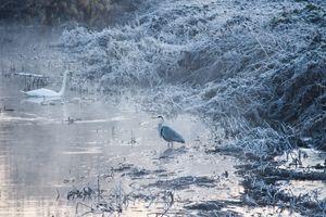 Swan and heron