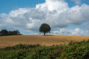 Lone Tree in Corn Field