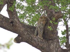 Leopard Kruger 3