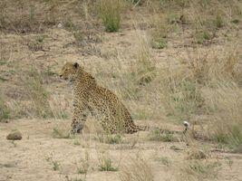 Leopard Kruger 1