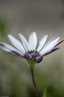Macro of an African Daisy