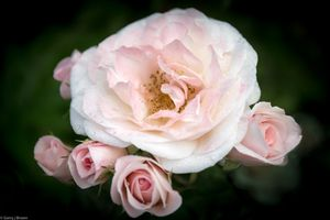 Multi headed Rose
