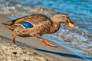 Duck Running With Food Photograph