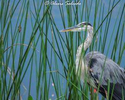 Great Blue Heron (Ardea herodias) among the Reeds