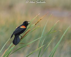 A vociferous male Red-Winged Blackbird (Agelaius phoeniceus)