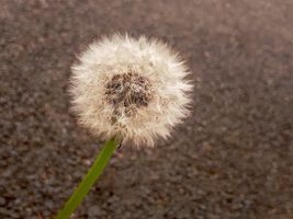Dandelion Seed Head on Tarmac